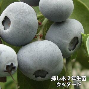 ウッダード ブルーベリー 挿し木 苗木 2年生 10本セット ラビットアイ系品種 果樹苗
