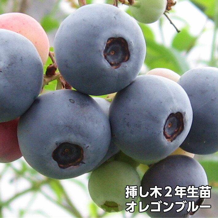 オレゴンブルー ブルーベリー 挿し木 苗木 2年生 10本セット ラビットアイ系品種 果樹苗