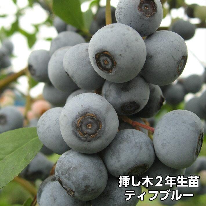 ティフブルー ブルーベリー 挿し木 苗木 2年生 10本セット ラビットアイ系品種 果樹苗