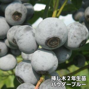 パウダーブルー ブルーベリー 挿し木 苗木 2年生 10本セット ラビットアイ系品種 果樹苗