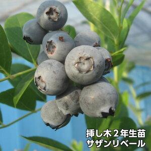サザンリベイル ブルーベリー 挿し木 苗木 2年生 サザンハイブッシュ系品種 果樹苗