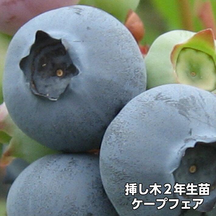 ケープフェア ブルーベリー 挿し木 苗木 2年生 サザンハイブッシュ系品種 果樹苗
