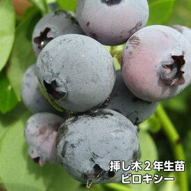 ビロキシー ブルーベリー 挿し木 苗木 2年生 10本セット サザンハイブッシュ系品種 果樹苗