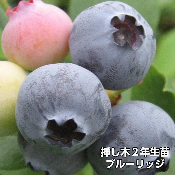 ブルーリッジ ブルーベリー 挿し木 苗木 2年生 10本セット サザンハイブッシュ系品種 果樹苗