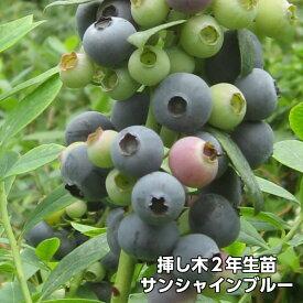サンシャインブルー ブルーベリー 挿し木 苗木 2年生 サザンハイブッシュ系品種 果樹苗