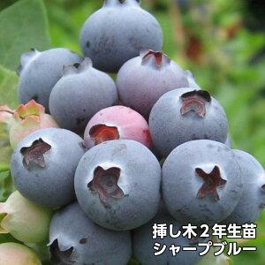 シャープブルー ブルーベリー 挿し木 苗木 2年生 サザンハイブッシュ系品種 果樹苗