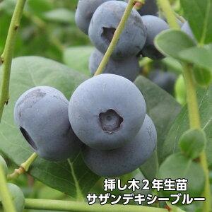 サザンデキシーブルー ブルーベリー 挿し木 苗木 2年生 サザンハイブッシュ系品種 果樹苗
