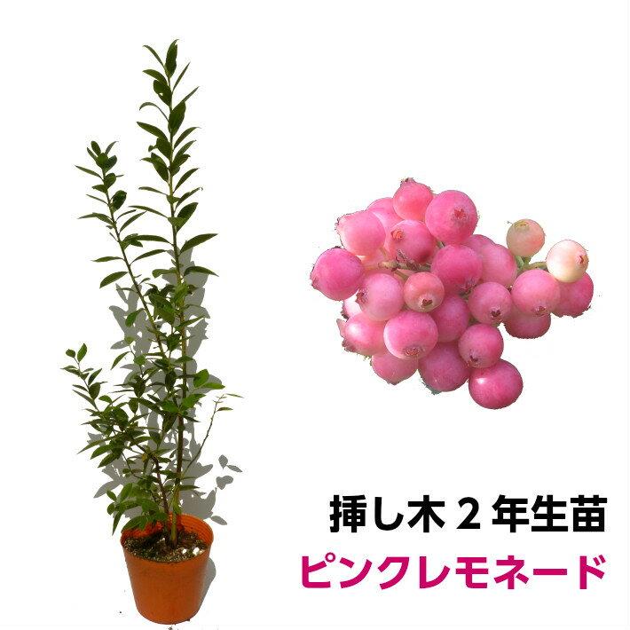 ブルーベリー 挿し木苗 ピンクレモネード ハイブリッド品種 果樹苗