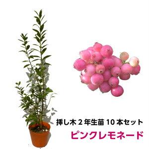ピンクレモネード ブルーベリー 挿し木 苗木 10本セット ハイブリッド品種 果樹苗