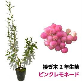 ブルーベリー 接ぎ木苗 ピンクレモネード ハイブリッド品種 鉢植え 果樹苗
