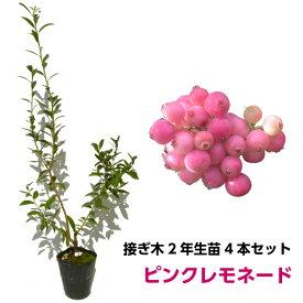 ブルーベリー 接ぎ木苗 ピンクレモネード 5本セット ハイブリッド品種 鉢植え 果樹苗