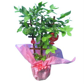 実付き ブルーベリー 6号鉢 トレリス仕立て 鉢植え 母の日 プレゼント 送料無料 鉢花 母の日ギフトフラワー 花 ギフト