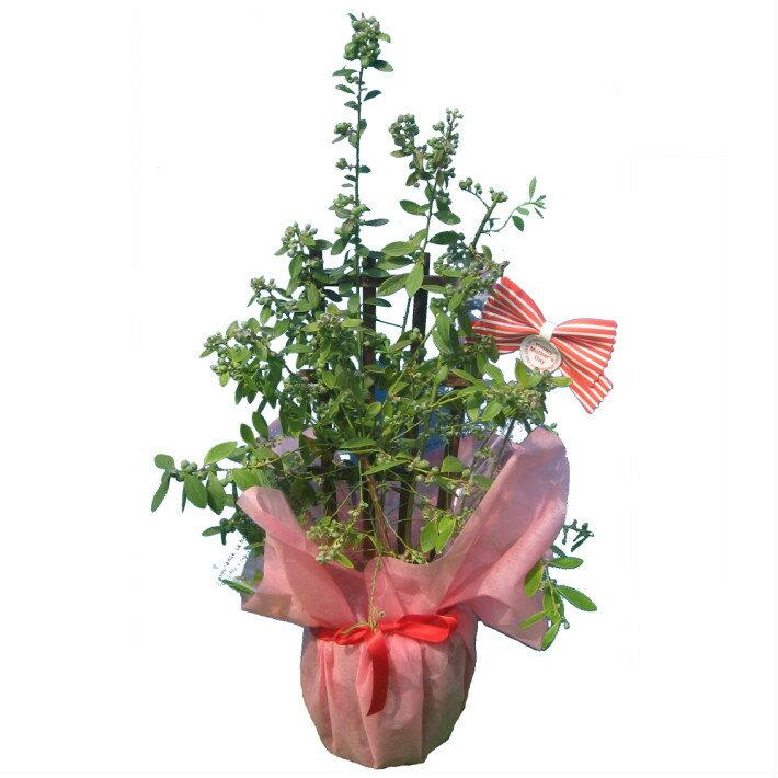 実付き ブルーベリー 接ぎ木 7号鉢 トレリス仕立て 鉢植え 母の日 プレゼント 送料無料 鉢花 母の日ギフトフラワー 花 ギフト