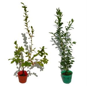 ブルーベリー サザンハイブッシュ系 苗木 2品種2本セット 母の日 プレゼント 送料無料 鉢花 母の日ギフトフラワー 花 ギフト
