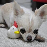 【ラテックス】【犬】【おもちゃ】チワワ2.4kgのこむぎくんは鶏ホワイトで遊んでくれました