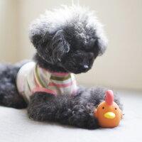 【ラテックス】【犬】【おもちゃ】トイプードル3.0kgの千勢ちゃんは地鶏オレンジで遊んでくれました