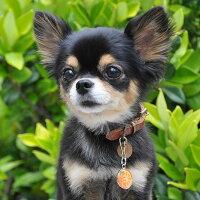 【迷子札】【犬】【猫】チワワ1.9kgのきなこちゃんはオレンジのSを使用