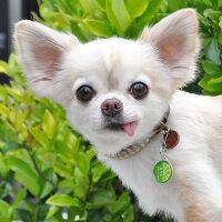 【迷子札】【犬】【猫】チワワ2.4kgのこむぎくんはライムのSを使用