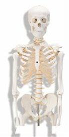 【送料無料】人体骨格モデルA10 ドイツ製(スリービー・サイエンティフィック社製) 3B 模型