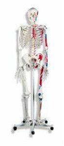 【送料無料】人体骨格モデルA11 ドイツ製(スリービー・サイエンティフィック社製) 3B 模型