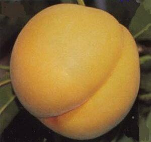 【福島の桃 『黄金桃』 約2.5kg(8〜11個)×1箱】