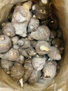 種芋 さといも サトイモ タネ芋 種 種芋 地物 1kg