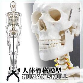 人体模型 人体骨格模型 キャスター付き,骨格模型 骨格標本 骸骨 ガイコツ 全身模型,接骨院 整骨院 整形外科 医学部 研究室