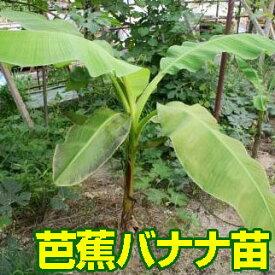 芭蕉バナナの苗 80cm程度 送料込み