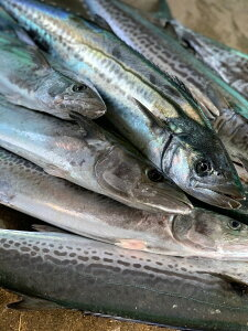 刺身用 活〆 サワラ 半身 カマ付き送料無料 釣り鰆鰆 サワラ さわら