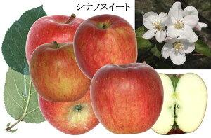 10月下旬より発送!【送料無料】【数量限定】【予約特別価格】【リンゴ箱入り】シナノスイート 約5kg