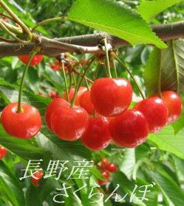 【秀品】【6月下旬より発送】【数量限定】長野産さくらんぼ「紅秀峰」L/LL 約800g