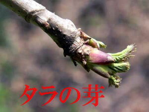 4月下旬より発送予定!志賀高原山麓で採れたたものを即日発送します!予約販売!限りがあります!長野産 天然タラの芽(山菜) 約100g