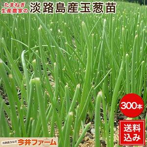 淡路島産たまねぎ苗早生品種レクスタ− #玉ねぎ苗300本レクスタ−#玉葱苗 たまねぎ苗