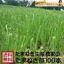 淡路島産たまねぎ苗早生品種レクスタ− #玉ねぎ苗100本レクスタ−#玉葱苗 たまねぎ苗