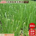 淡路島産たまねぎ苗中生品種タ−ザン #玉ねぎ苗300本タ−ザン#玉葱苗 たまねぎ苗