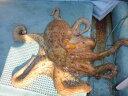 絶品の蛸 日間賀島名物!真タコ(冷凍)約600〜800gたこ