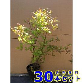 コバノズイナ (小葉の髄菜) 13.5p 樹高 0.3m前後 30本 植木 苗木 シンボルツリー 生垣