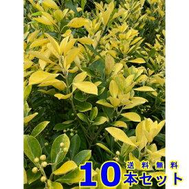 生垣 オウゴンマサキ (黄金マサキ) 15.0p 10本 樹高0.5m前後 15.0p 植木 苗木 シンボルツリー 生垣