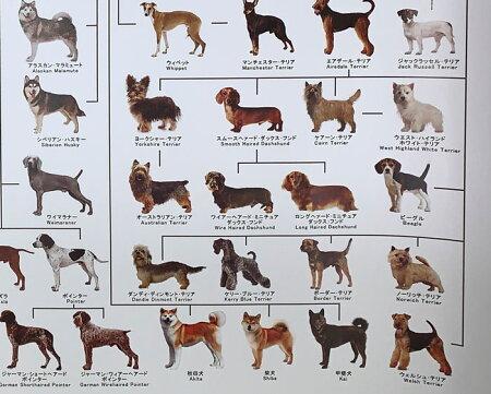 犬の系統図ドッグジェネレーションポスター改定版【あす楽】