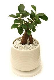 ガジュマル(多幸の樹) 和モダン風ホワイトポット観葉植物 モダン ナチュラル インテリアグリーン   おしゃれ 人気 引越し祝い 開店祝い 新築祝い 結婚祝い お祝い 観葉植物通販