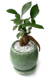 ガジュマル(多幸の樹) オールド加工グリーンポット観葉植物 モダン ナチュラル インテリアグリーン   おしゃれ 人気 引越し祝い 開店祝い 新築祝い 結婚祝い お祝い 観葉植物通販