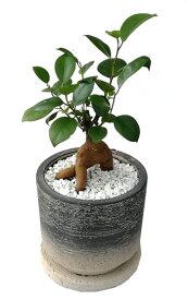 ガジュマル(多幸の樹) 和風素焼きブラックポット観葉植物 モダン ナチュラル インテリアグリーン   おしゃれ 人気 引越し祝い 開店祝い 新築祝い 結婚祝い お祝い 観葉植物通販