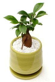 ガジュマル(多幸の樹) 和モダン風グリーンポット観葉植物 モダン ナチュラル インテリアグリーン   おしゃれ 人気 引越し祝い 開店祝い 新築祝い 結婚祝い お祝い 観葉植物通販