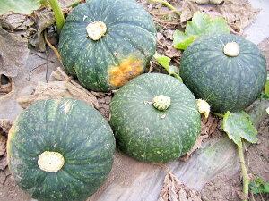 北海道産かぼちゃ 10kg(5〜7玉)×1箱送料無料(品種は当店におまかせください)9月上旬発送開始!
