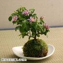 【父の日】睡蓮木(スイレンボク)苔玉盆栽【送料無料】【4月下旬発送開始】