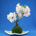 【葉桜】桜盆栽・旭山(一才桜)苔玉