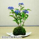 山アジサイ(紫陽花)藍姫(あいひめ)苔玉盆栽【4月下旬発送開始】【6月上旬頃開花】【4月下旬頃出荷開始】【数量限…