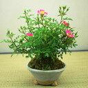 【父の日】雅バラミニ盆栽【送料無料】【5月下旬頃開花】
