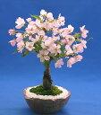 【枝姿】桜の盆栽・旭山(一才桜) ミニ盆栽【苔・石つき】【萬古焼鉢】