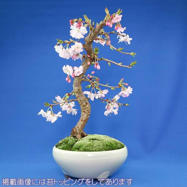 【父の日】【お届け日・日付指定可能】【葉桜】十月桜 盆栽(本格盆栽仕立て)【秋と春に開花する品種】